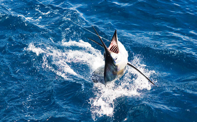 A Marlin trying to jump Big Game Fishing Report