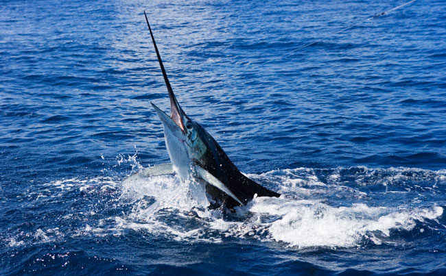 Big Game Fishing Report of a huge Marlin shaking its head