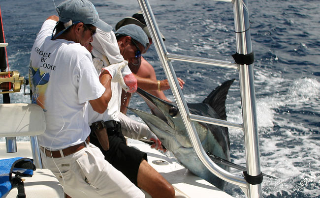 Holding up a Marlin for Picture Big Game Fishing Report
