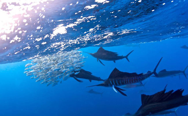 Sailfish rounding up a bait ball Big Game Fishing Report