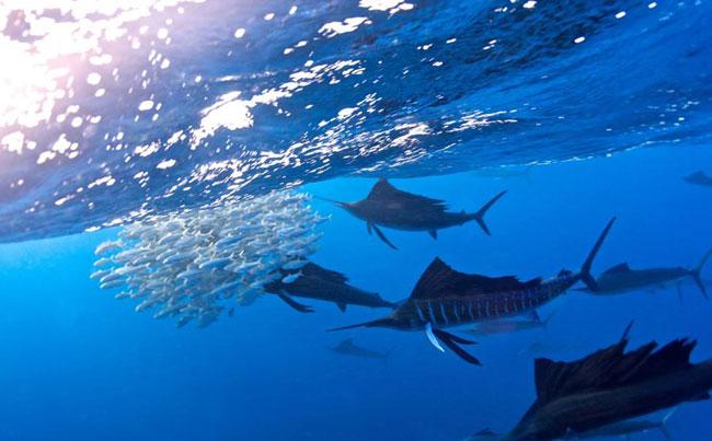 Sailfish rounding up a bait ball Big Game Fishing Report
