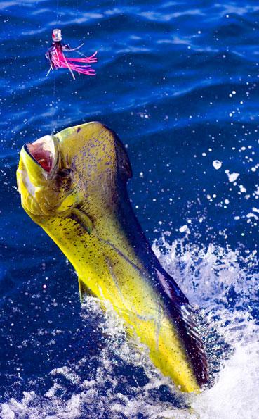 Big Game Fishing Report of loads of hard fighting dorado