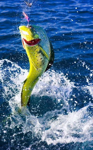 A jumping dorado Big Game Fishing Report