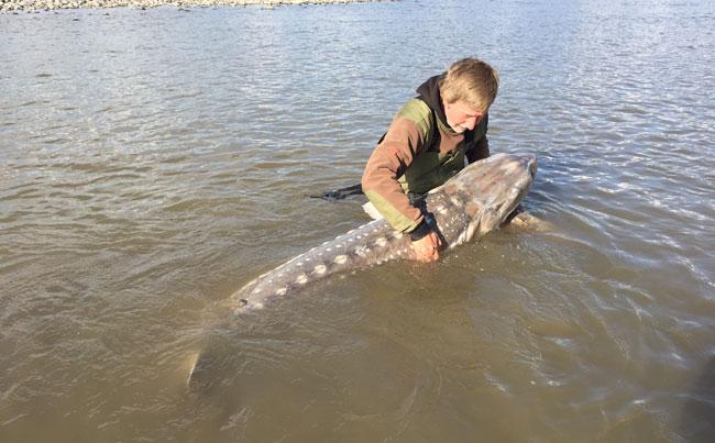 He is cradling a big Sturgeon Canada Fishing Report