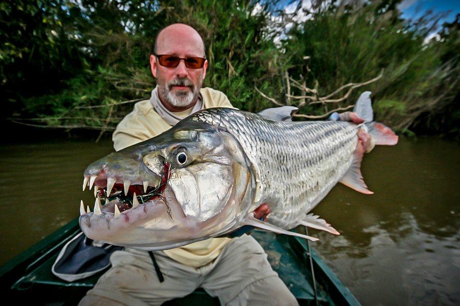 African tiger fish bird for Tiger fish pictures