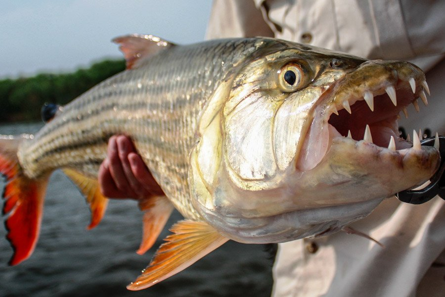 Tiger fish bing images for Tiger fish pictures