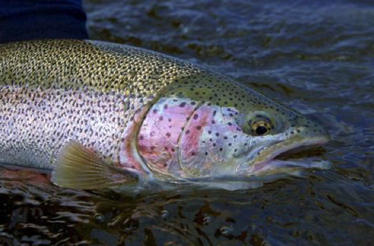Alaskan Rainbow Trout with ATA Lodge