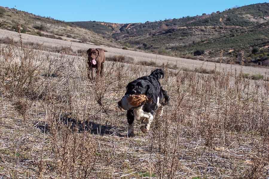 Partridge Shooting in Spain