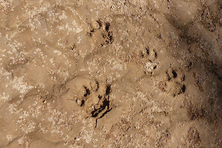Panther footprints on the shore of Secure River