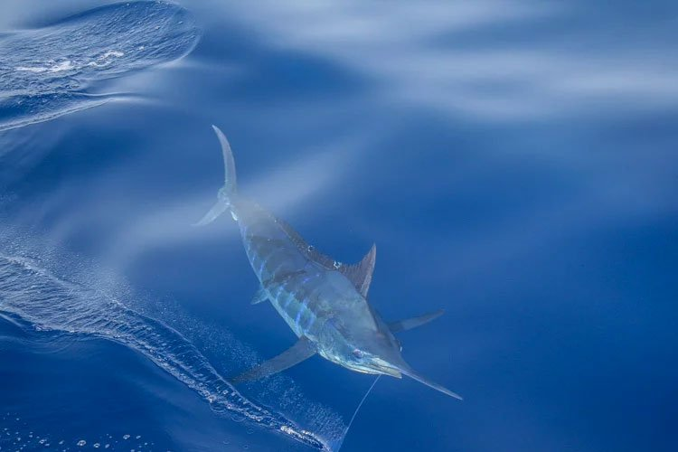 A massive Marlin in the water
