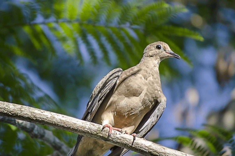 Female eared dove