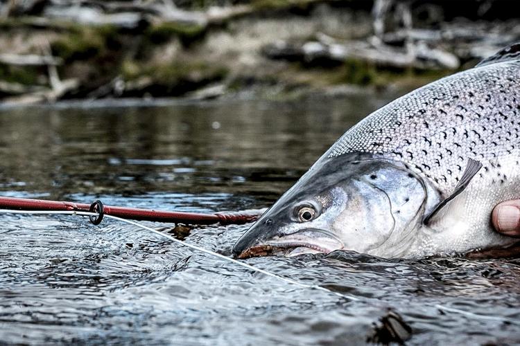 Sea trout spotlight