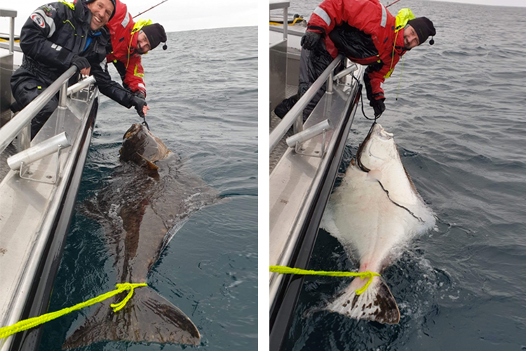 200cm halibut
