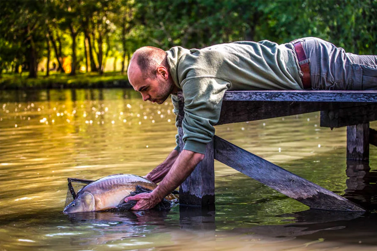 Common Carp being released back into the fishing lake