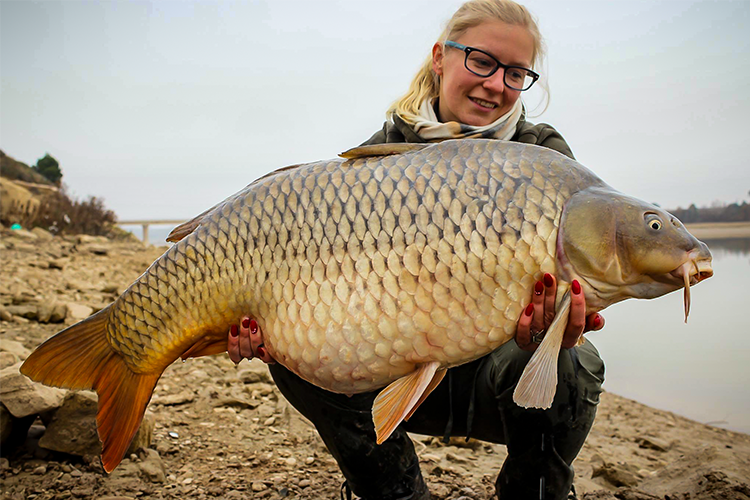 Huge common carp from spain
