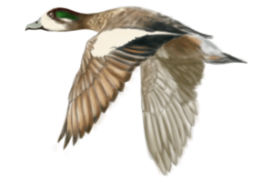 SOUTHERN WIGEON