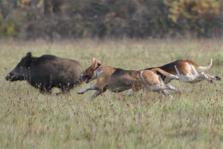 Running hog