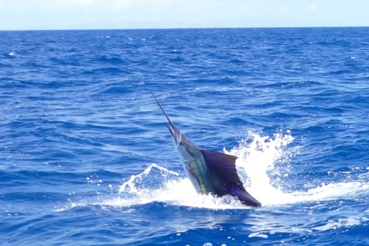 Tailwalking Sailfish