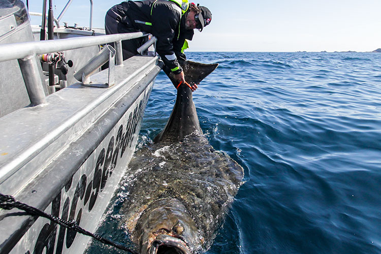 Release of a Monster Halibut