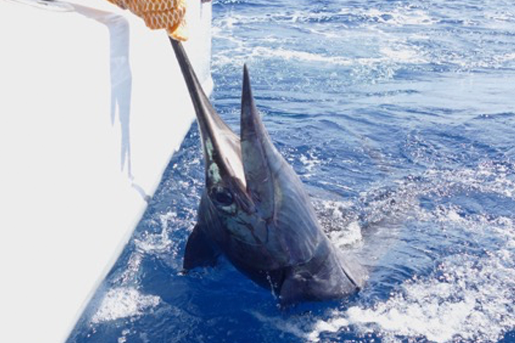 Large Sailfish in the water