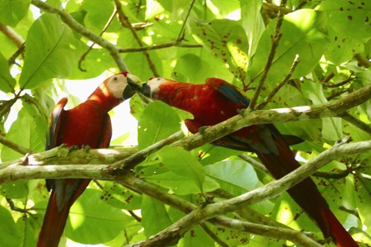 Pair of Parrots in Costa Rica