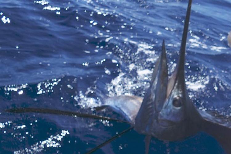 Large Sailfish beside boat