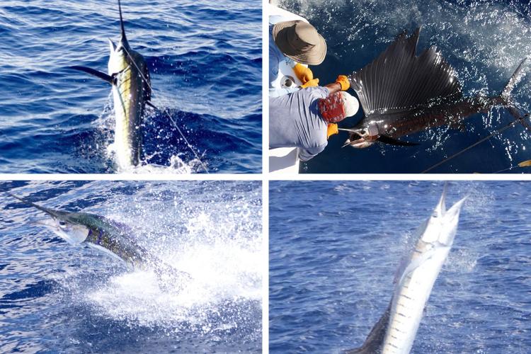 4 large Marlin caught