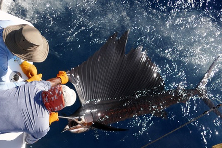 Large Sailfish beside the boat