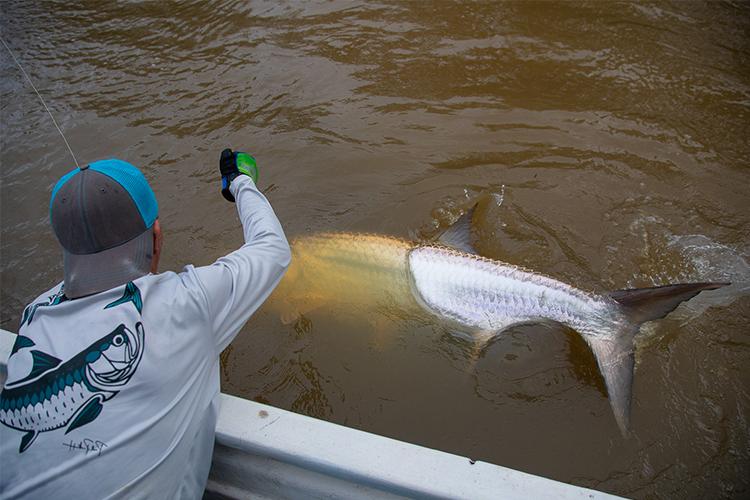 Large Tarpon in the water
