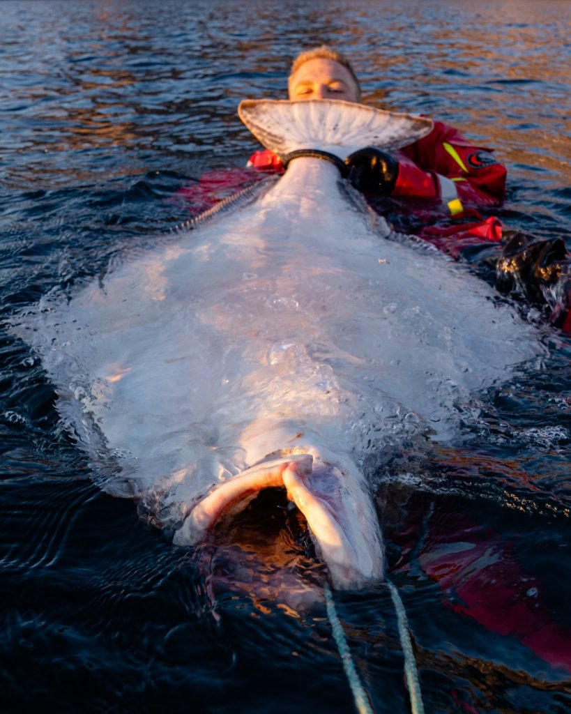 Large Halibut in Norway